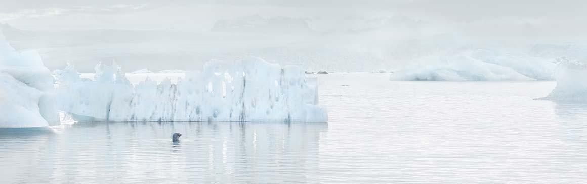 Foca Entre Icebergs
