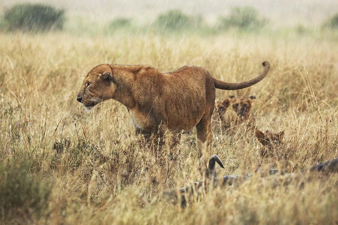 Leona del Serengueti