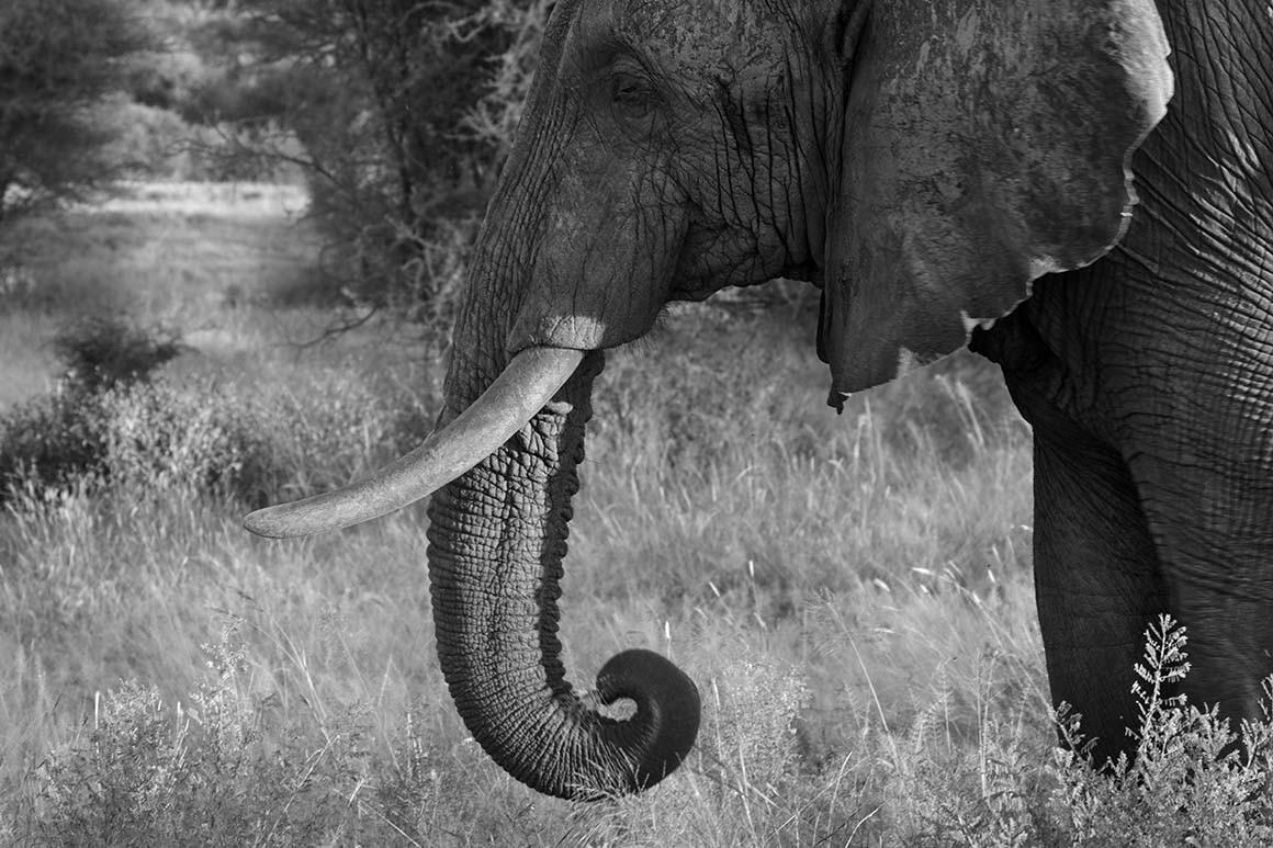 Viejo elefante