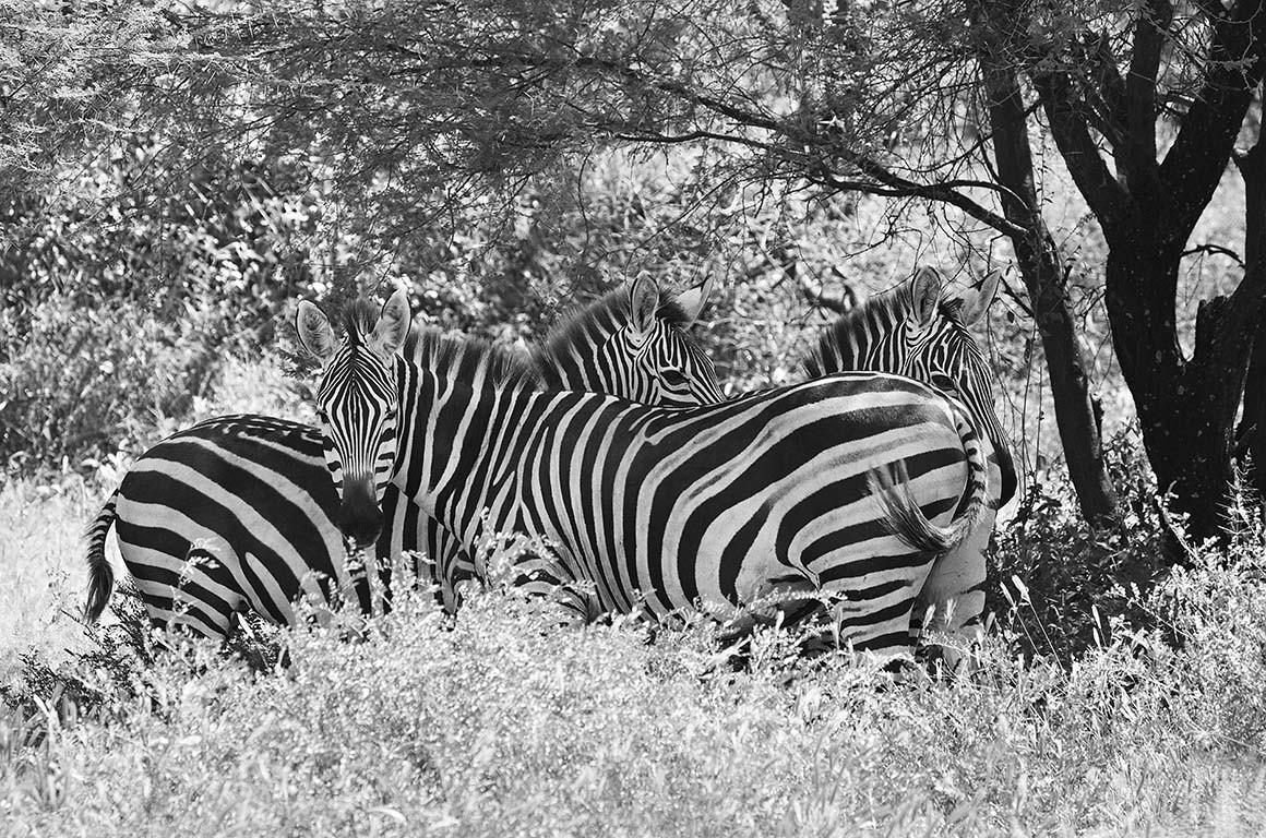 Cebras del serengueti