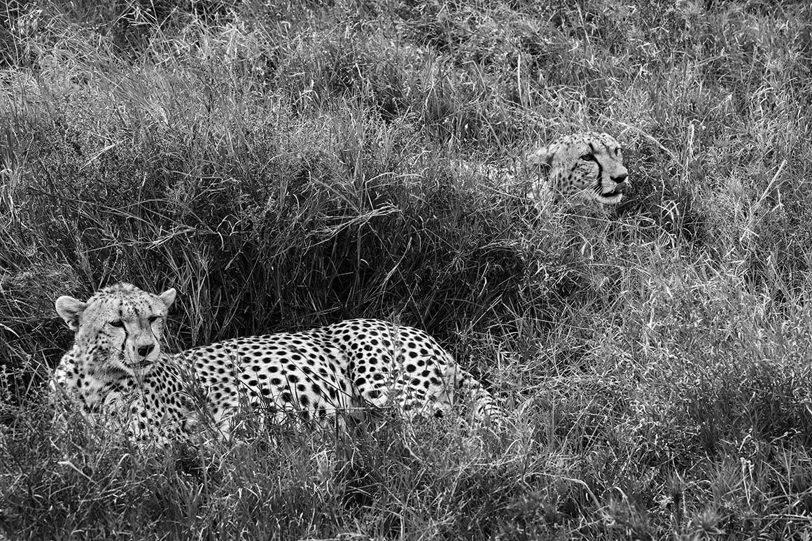 Guepardos del Serengueti