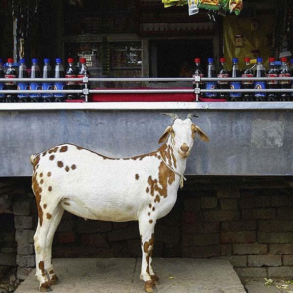 Retrato de Una Cabra